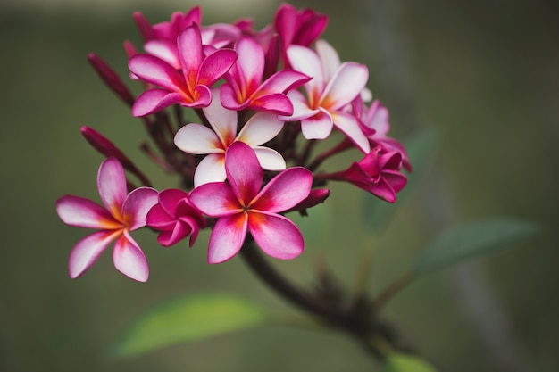 Pink plumeria on the plumeria tree, frangipani tropical flowers.