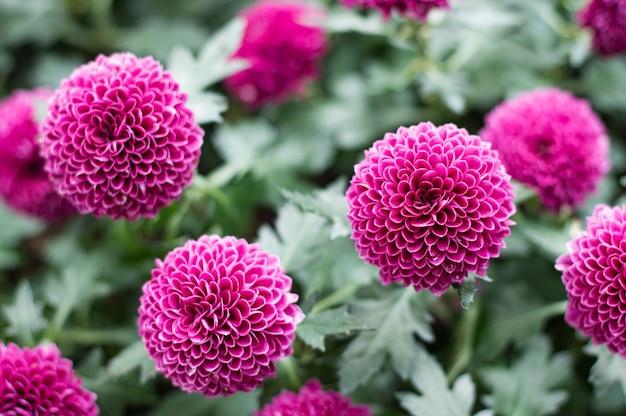 Розовые помпоны хризантемы в саду.