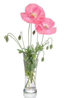 Pink poppies in glass vase isolated