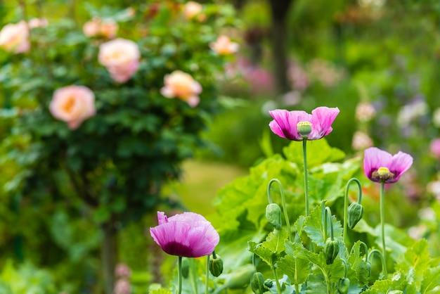 晴れた日の夏の庭のピンクのポピー。横ショット