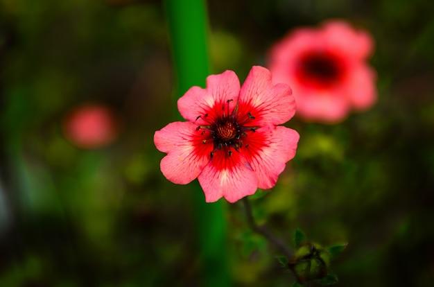 Розовая потенциелла в летнем саду крупным планом