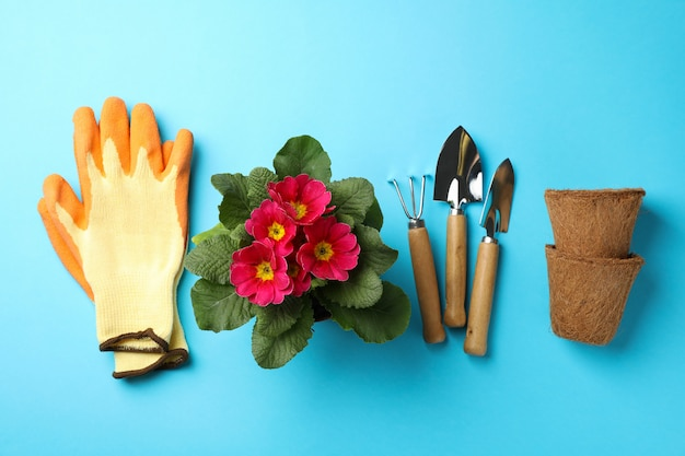 Pink primrose and gardening tools on blue background, top view