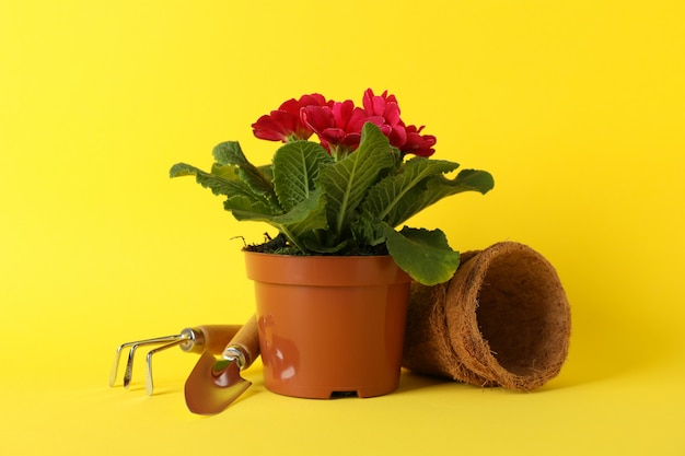 Pink primrose and gardening tools on yellow background, close up