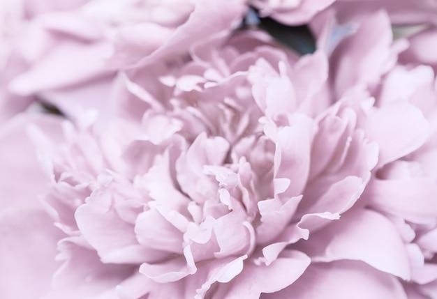Розовый фиолетовый абстрактный фон из лепестков пиона. обои