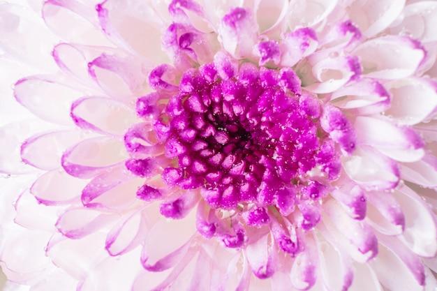 Pink-purple chrysanthemum flower close-up on a light background