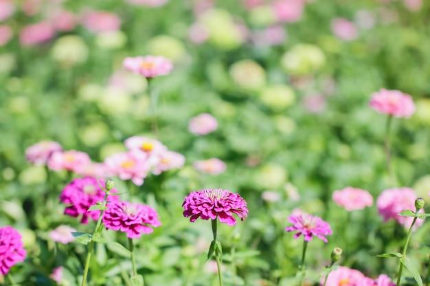 Pink and purple chrysanthemums.