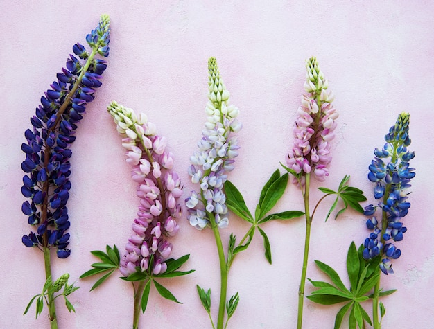Pink and purple lupine flowers