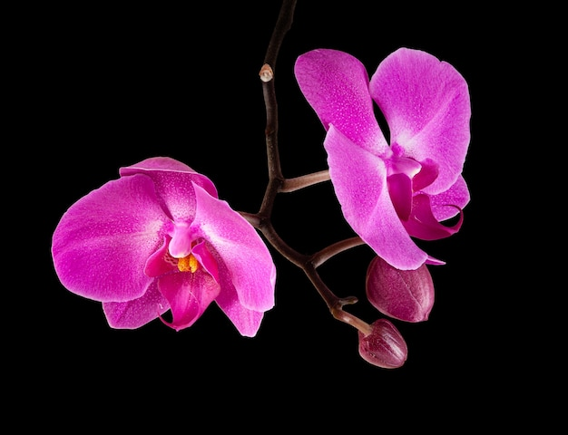 분홍색 보라색 phalaenopsis 난초 꽃
