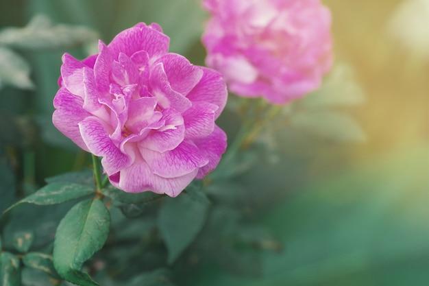 핑크 퍼플 로즈 흐린 녹색 잎 야생, 부드러운 꽃 배경에서 성장.