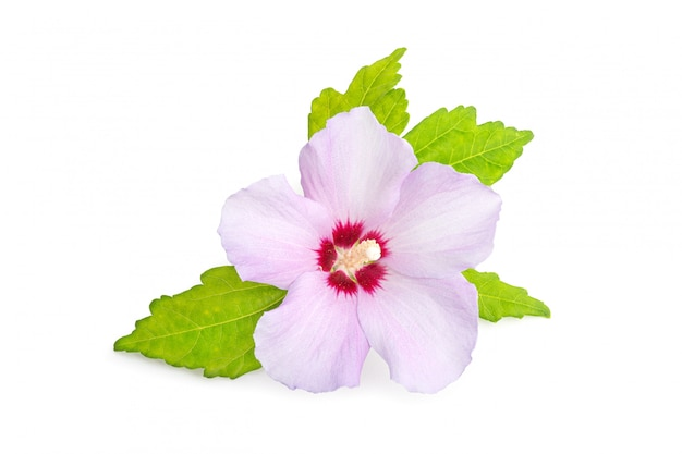 Pink or purple rose of sharon flower isolated on white background. hibiscus syriacus l.
