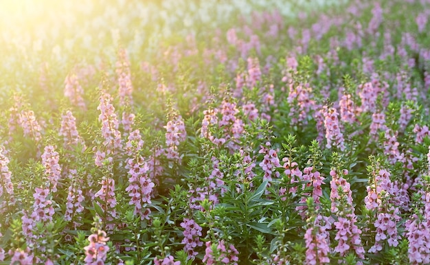 Pink and purple sage flowers or salvia officinalis flowers