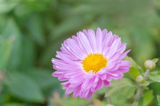 緑の庭の背景にピンク紫白菊の花。