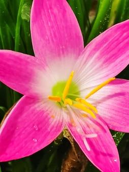 핑크 비 백합 전구