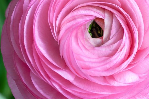 Pink ranunculus background.