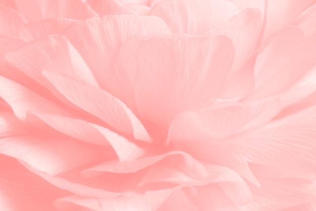 ピンクのラナンキュラスの花のマクロ撮影
