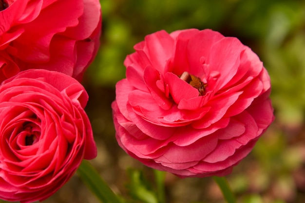 Pink ranunculus flowers growing in garden on a sunny day. closeup fucsia flower.