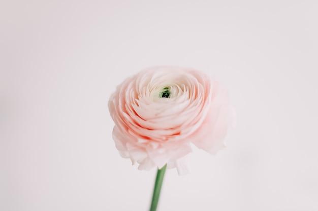 招待状のための白い壁にピンクのラナンキュラス