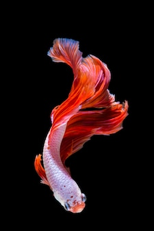 Pink and red betta fish, siamese fighting fish on black background
