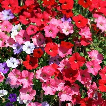 태양 아래 정원에서 분홍색, 빨간색, 흰색 및 보라색 꽃