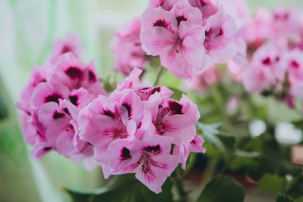 "The pink regal pelargonium is a home and garden plant that is also known as regal geranium or ""pelargonium grandiflorum"""