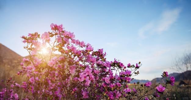 青い空を背景に日光の下でピンクのシャクナゲの花、クローズアップ。咲く庭の春の日。アルタイ山脈のマラルニクの茂み。自然な背景、テキスト用のスペース。