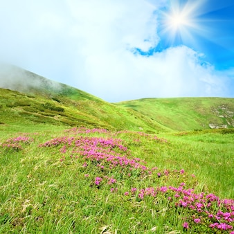 Розовые цветы рододендрона на летнем склоне горы (украина, карпаты) и солнце в небе