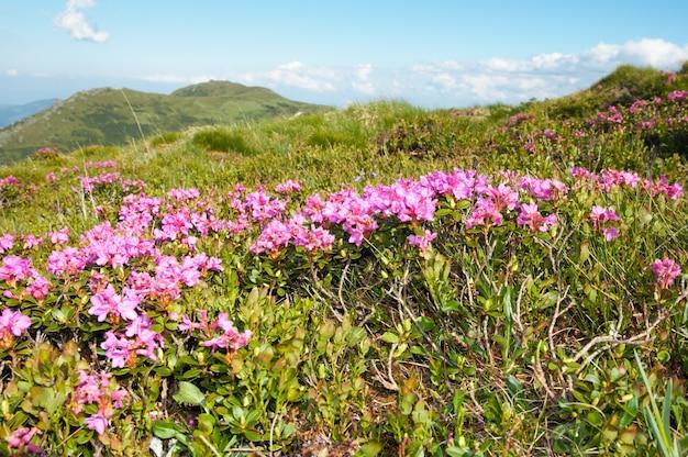 夏の山腹にピンクのシャクナゲの花