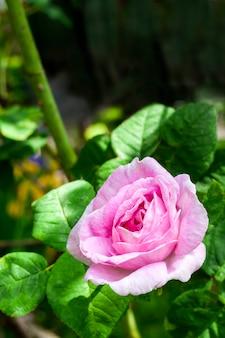 Розовая роза сентифолия цветок крупным планом