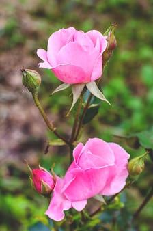 Розовая роза, цветущая в саду летом