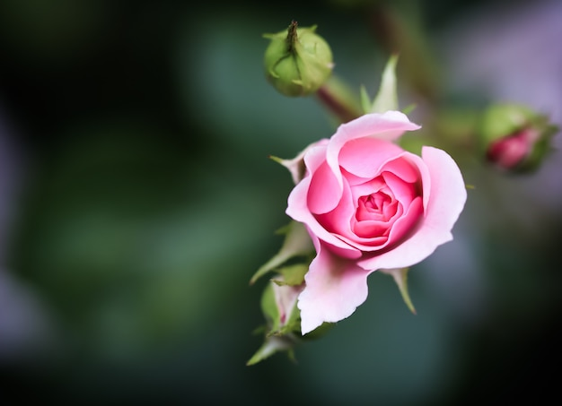 Розовая роза боника в саду идеально подходит для фоновых поздравительных открыток на день рождения, день святого валентина и