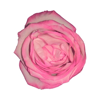The pink rose bud is isolated against a white background. view from above. flower for design. high quality photo