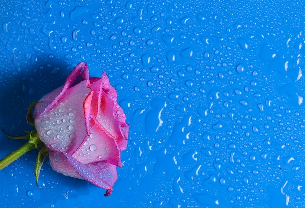 水滴の青い表面にピンクのバラのつぼみ。上面図。
