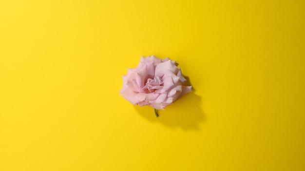 Бутон розовой розы на желтой поверхности, вид сверху, баннер