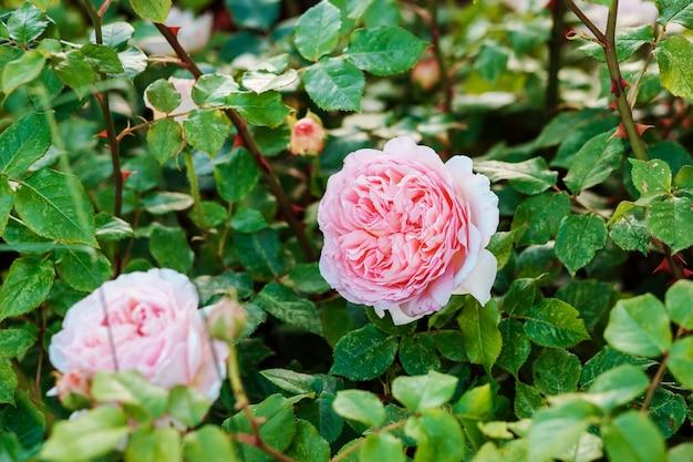 Розовые бутоны роз среди зеленой листвы. посадка цветов, концепция садоводства.