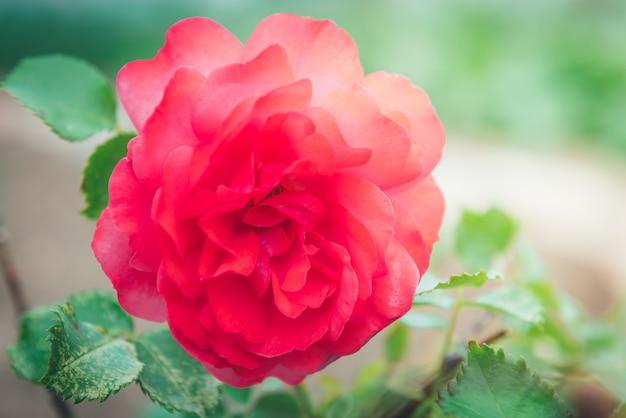 Розовые бутоны роз, растущие в саду.