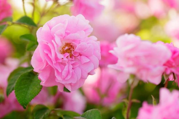 Pink rose bush closeup on field