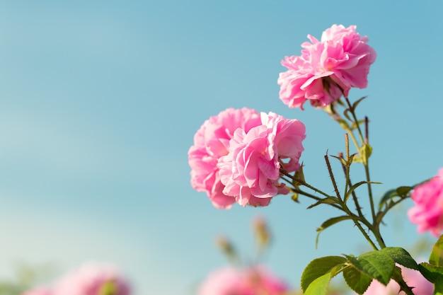 Розовый куст роз крупным планом