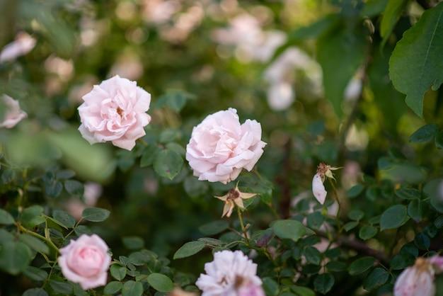 庭のピンクのバラの茂み。