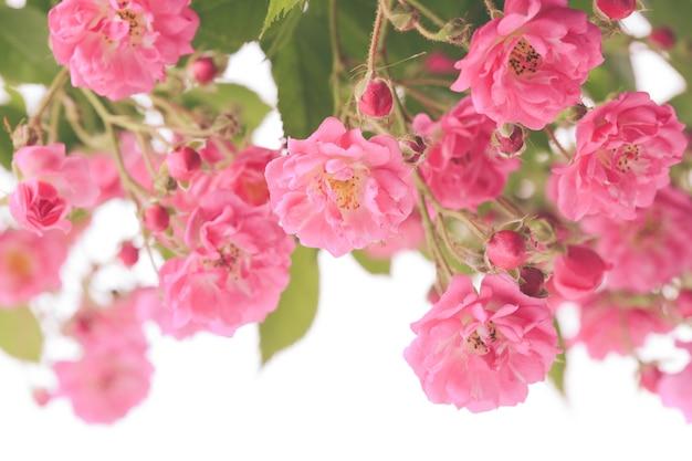 Куст розовой розы, изолированные на белом фоне