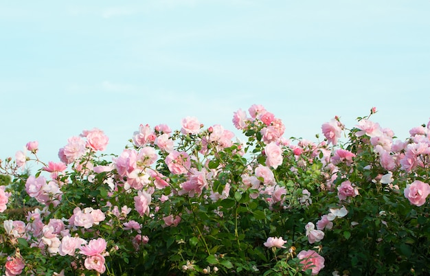 Pink rose bushes on a blue sky background.