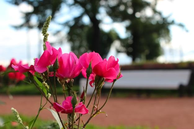 Кусты розовых роз в городском парке