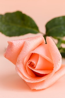 Pink rose on colored background