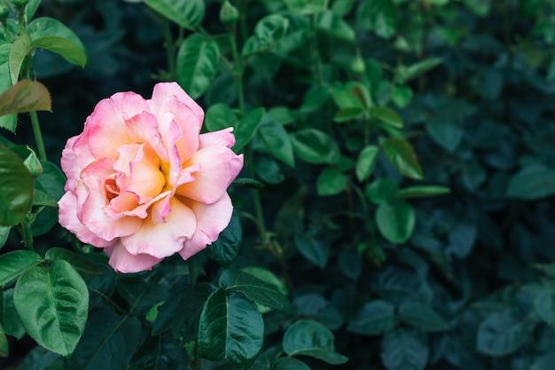 진한 녹색 잎의 흐린 배경에 핑크 장미 꽃