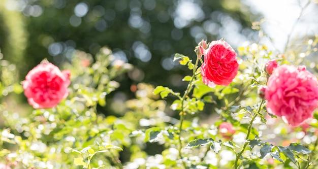 Розовый цветок розы в саду роз. мягкий фокус. цветок шиповника.