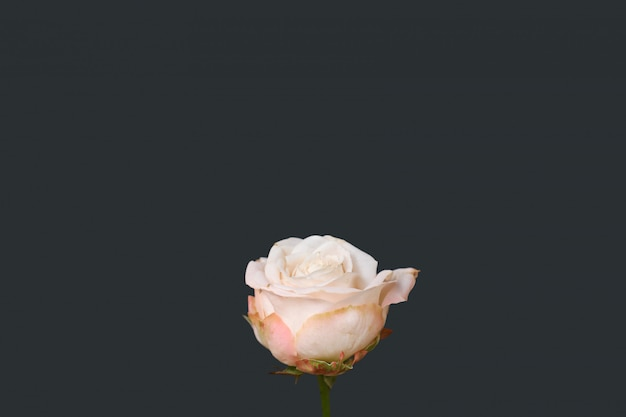 Pink rose flower isolated on gray background. copy space. valentine's day