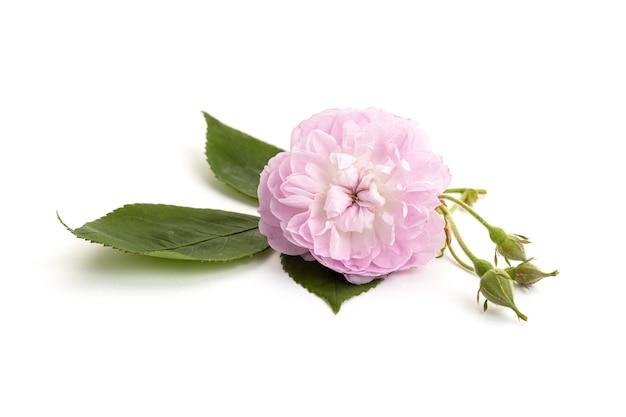 白い背景で隔離のピンクのバラの花