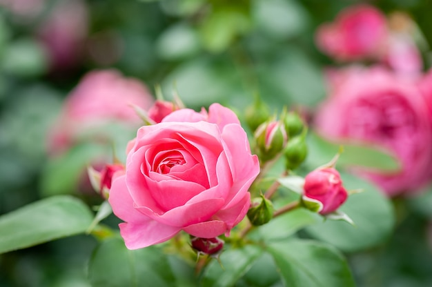 バラ園のつぼみとピンクのバラの花。ソフトフォーカス。