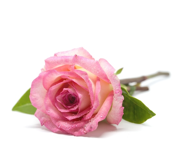 Pink rose flower with green leaves and dew point on white background
