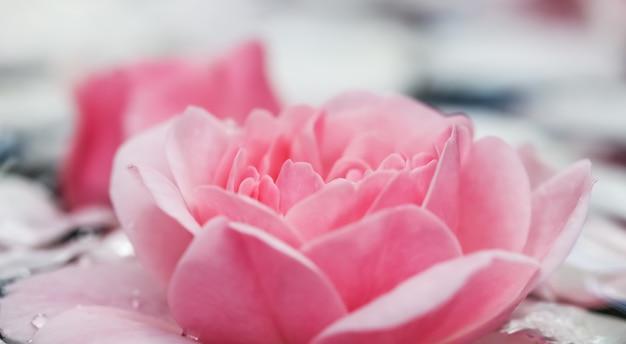 Розовые цветы розы и белые лепестки с каплями и размытым световым фоном для фестиваля воды или спа