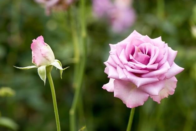 Pink rose flowers on nature background.